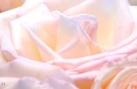 Rose per la sposa classica