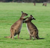 Canguri durante l'escursione al Kangaroo Island