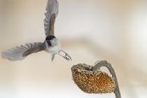 Cincia bigia con girasole - Foto by W. Vivarelli
