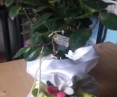 Ficus G. In raso
