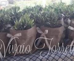 Ulivo in terracotta in sacchetto di Juta Nozze a messina