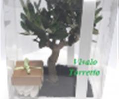 Ulivo in porcellana Vivaio Torretta