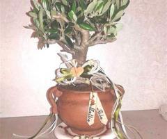 Ulivo in Terracotta con manici per nozze in Puglia