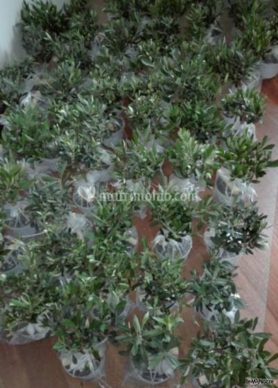 Ulivi in vaso in pvc in sacchetto di  organza Nozze a Catanzaro